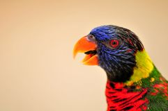 Closeup of Rainbow Lorikeet bird, mouth open Royalty Free Stock Images