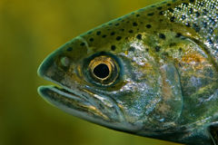Closeup of a rainbow trout Royalty Free Stock Image
