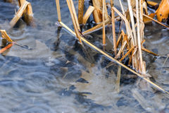Closeup of raindrops falling into water between reeds, leaves un Royalty Free Stock Photography