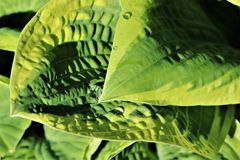 Raindrops on hosta leaves. Closeup of raindrops on Hosta plant after a Spring shower Royalty Free Stock Images