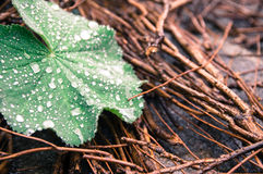 Closeup raindrops on leaf with brown background. Closeup raindrops on Common lady`s mantle with twigs in background Royalty Free Stock Image
