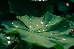 Closeup raindrops on leaf. Closeup raindrops on Common lady`s mantle with twigs in background Stock Photo