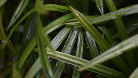 Closeup of rainy and leaf lady palm stock footage