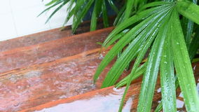 Closeup of rainy and leaf lady palm stock video