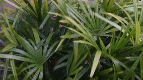 Closeup of rainy and leaf lady palm stock video footage
