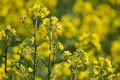 Closeup of a rape field Stock Photography