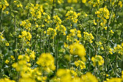Closeup of a rape field Royalty Free Stock Images