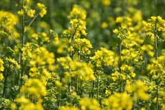 Closeup of a rape field Stock Images