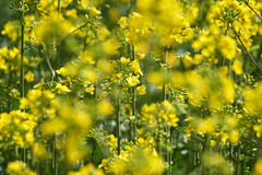 Closeup of a rape field Royalty Free Stock Photo