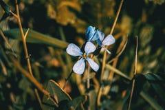 Closeup of raphanus lilac flower royalty free stock photo