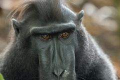 Closeup of rare Celebes crested macaque Macaca nigra Tangkoko National Park in North Sulawesi, Indonesia. Closeup of Celebes crested macaque Macaca nigra Royalty Free Stock Image
