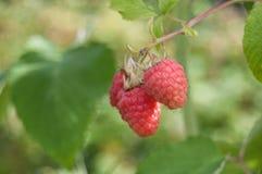 Closeup of raspberries in a field Stock Photos