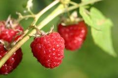 Closeup of raspberries in garden Stock Photos