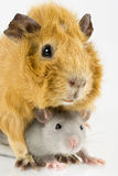 Closeup rat and guinea pig playing Royalty Free Stock Photography