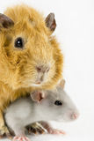 Closeup rat and guinea pig on white Stock Photos