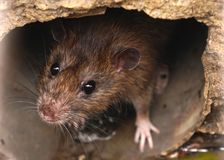 Closeup of rat on a sewer could bee seen from drain grate Royalty Free Stock Photo