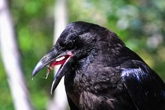 Closeup of a raven catching a fly on its sticky tongue.  Royalty Free Stock Photo
