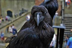 Closeup of Raven Stock Photo