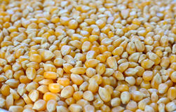 Closeup  of raw corn seeds Stock Images