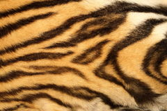 Closeup on real tiger fur Royalty Free Stock Photography