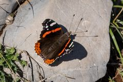 Closeup of a red admiral butterfly resting on a stone. Closeup of a red admiral butterfly Vanessa atalanta, Nymphalidae resting on a stone stock photography