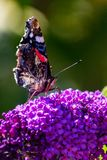 Closeup of Red Admiral butterfly with wings closed on butterfly bush. Closeup of Red Admiral butterfly with wings closed on the flower of a butterfly bush stock images