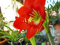 Red amaryllis bloom. Closeup Red amaryllis bloom in garden Royalty Free Stock Images