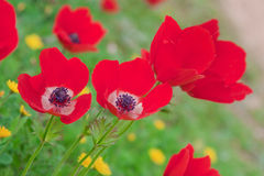 Closeup on red anemones over green Royalty Free Stock Photos