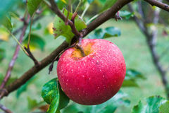 Closeup of red apple. On branch Royalty Free Stock Photos