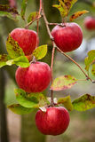Closeup of red apples on branches Royalty Free Stock Photos