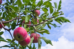 Closeup of a red apples on a tree Royalty Free Stock Image