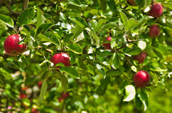 Closeup of a red apples on a tree at orchard Royalty Free Stock Photos
