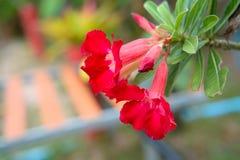 Closeup Red Azalea flowers on the flower pot. stock image