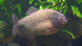 Closeup of a red bellied piranha swimming in the aquarium, tropical fish with golden glittering scales, beautiful ornamental pet, stock footage