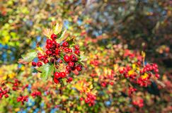 Closeup of red berries on branches of a hawthorn bush. In early morning sunlight. It is autumn in the Netherlands. The leaves change color already and the stock image