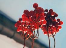 Closeup of red berries cluster of viburnum in winter. vector illustration