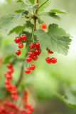 Closeup of red berries - twig of redcurrant in orc Royalty Free Stock Images