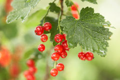 Closeup of red berries twig - redcurrant in orchar Stock Image