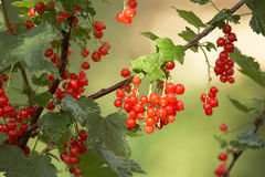 Closeup of red berries twig - redcurrant in orchar Royalty Free Stock Photography