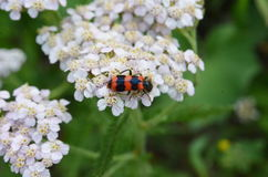A closeup of a red and black bug on a white wild meadow flower healing herb. Achillea millefolium - A closeup of a red and black bug on a white wild meadow Royalty Free Stock Image