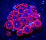 Red and Blue Zoanthid Coral. Closeup of red and blue zoanthid coral Stock Photo