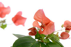 Closeup of red bougainvillea flowers Royalty Free Stock Photography