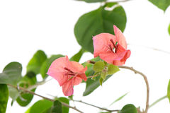 Closeup of red bougainvillea flowers Royalty Free Stock Image
