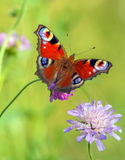 Closeup of Red Butterfly. On Blue Flower with Green Background royalty free stock photo