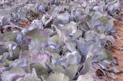 Closeup of red cabbages in the field Royalty Free Stock Image