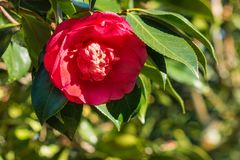 Red camellia flower in bloom royalty free stock photography