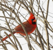 Closeup Red Cardinal Snowy Day Stock Photos