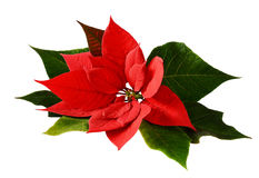 Closeup of red Christmas poinsettia Stock Images
