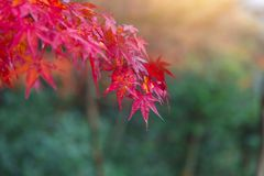 Closeup red color maple leaf in the garden autumn in Kyoto Japan. Closeup red color maple leaf in the garden autumn season stock image