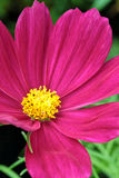 Closeup of red cosmos flower with yellow bud Stock Photos